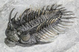 "Buy 2.2"" Spiny Comura Trilobite - Top Quality Specimen - #106852"