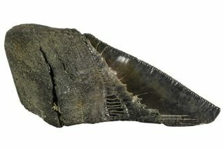 Carcharocles megalodon - Fossils For Sale - #106935