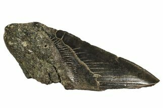 Carcharocles megalodon - Fossils For Sale - #106956