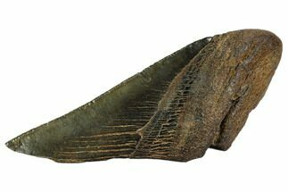 "Buy 4.1"" Partial Fossil Megalodon Tooth - Georgia - #106957"