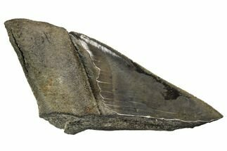 "Buy 5.62"" Partial Fossil Megalodon Tooth - Serrated Blade - #106945"