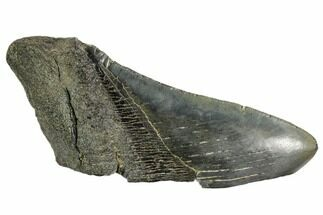 Carcharocles megalodon - Fossils For Sale - #106947