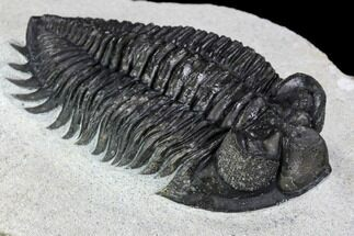 "Buy 2.55"" Coltraneia Trilobite Fossil - Huge Faceted Eyes - #107059"
