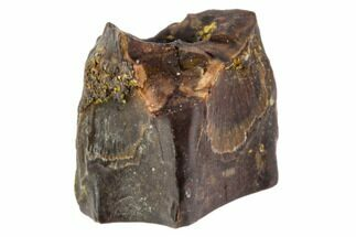 ".29"" Edmontosaurus (Duck-Billed Dinosaur) Shed Tooth For Sale, #106082"