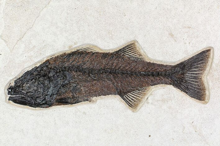 "15.8"" Fossil Fish (Mioplosus) From 18 Inch Layer - Wyoming"