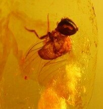 Buy Fossil Wasp (Hymenoptera) In Amber - Myanmar - #107605