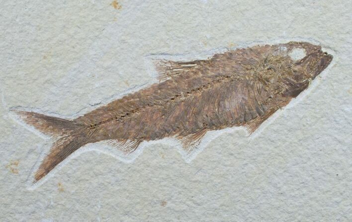"4.7"" Knightia Fossil Fish - Wyoming"