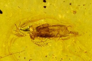 Staphylinidae - Fossils For Sale - #107616