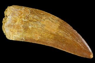 "Buy Serrated, 2.15"" Carcharodontosaurus Tooth - Real Dinosaur Tooth - #107635"