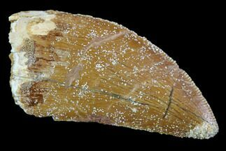 "Bargain, 1.26"" Carcharodontosaurus Tooth - Real Dinosaur Tooth For Sale, #107702"