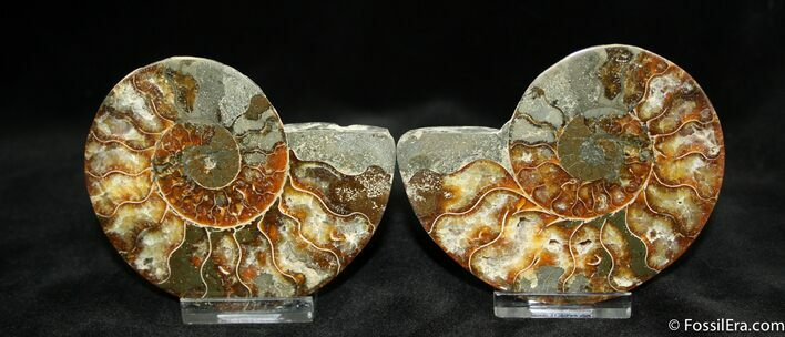 Natural Art - 3.6 Inch Polished Ammonite