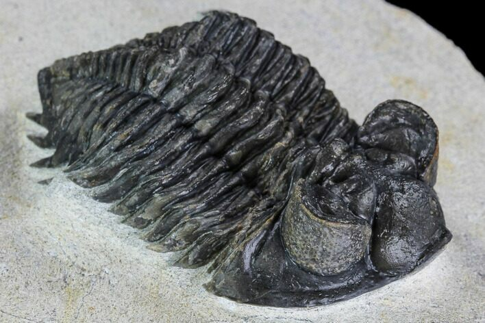 "1.95"" Coltraneia Trilobite Fossil - Huge Faceted Eyes"