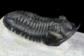 "2.8"" Morocconites Trilobite Fossil - Morocco For Sale, #108539"