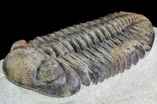 "4.15"" Pedinopariops Trilobite - Beautiful Shell Coloration For Sale, #108689"