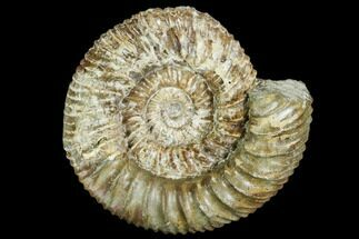 "4.0"" Stephanoceras Ammonite - Kirchberg, Switzerland For Sale, #108788"