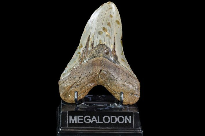 "Large, 5.18"" Fossil Megalodon Tooth - North Carolina"