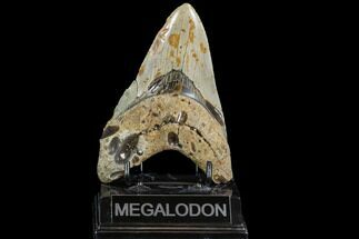 Carcharocles megalodon - Fossils For Sale - #108879