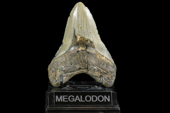 "Large, 5.03"" Fossil Megalodon Tooth - North Carolina"