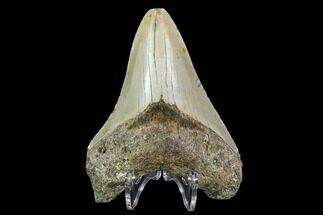 "4.21"" Fossil Megalodon Tooth - North Carolina For Sale, #108890"