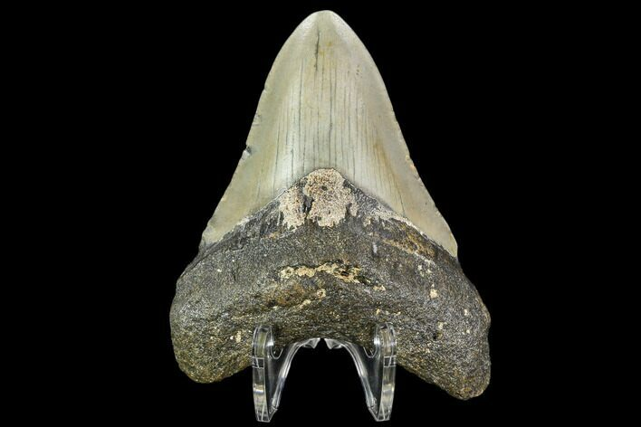 "3.49"" Fossil Megalodon Tooth - North Carolina"