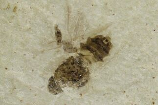 "Buy .28"" Fossil Bee (Hymenoptera)- Green River Formation, Utah - #108832"