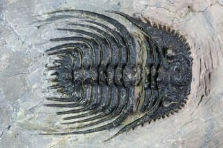 "Detailed, 1.25"" Leonaspis Trilobite - Atchana, Morocco For Sale, #108791"
