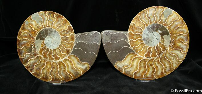 Huge 7.5 Inch Split Ammonite Pair