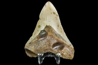 "Buy 4.31"" Fossil Megalodon Tooth - North Carolina - #108982"