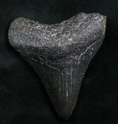 "Bargain 2.06"" Megalodon Tooth - Florida"