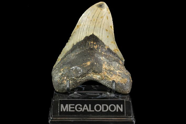 "4.81"" Fossil Megalodon Tooth - North Carolina"