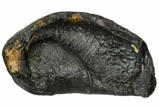 "Buy 3.9"" Fossil Whale Ear Bone - Miocene - #109252"