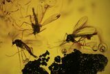 Fossil Fly (Diptera) Cluster In Baltic Amber - #109478-1