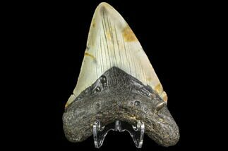 "Buy 3.65"" Fossil Megalodon Tooth - North Carolina - #109537"