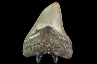 "4.19"" Fossil Megalodon Tooth - North Carolina For Sale, #109667"