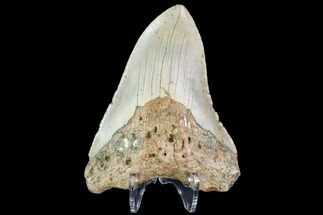 "Bargain, 4.31"" Fossil Megalodon Tooth - North Carolina For Sale, #109673"