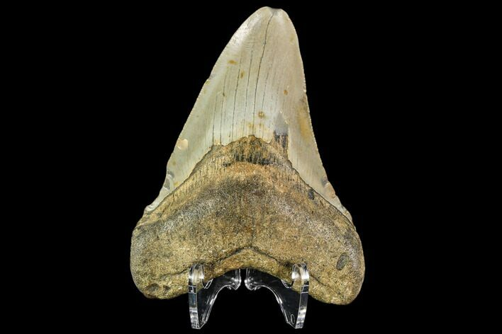 "4.15"" Fossil Megalodon Tooth - North Carolina"