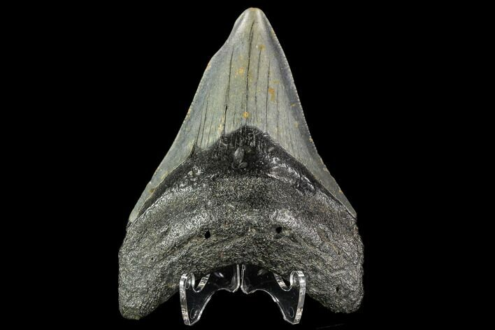 "3.95"" Fossil Megalodon Tooth - North Carolina"