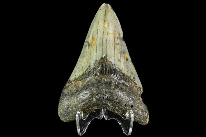 "3.1"" Fossil Megalodon Tooth - North Carolina"