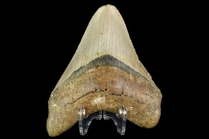 "4.42"" Fossil Megalodon Tooth - North Carolina"