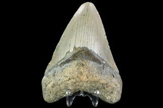 Carcharocles megalodon - Fossils For Sale - #109875