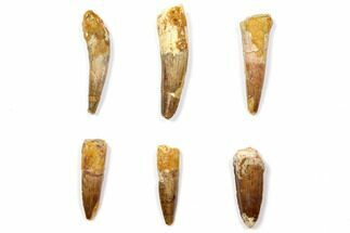 "Wholesale Lot: 1.6 to 2.3"" Bargain Spinosaurus Teeth - 6 Pieces For Sale, #108554"