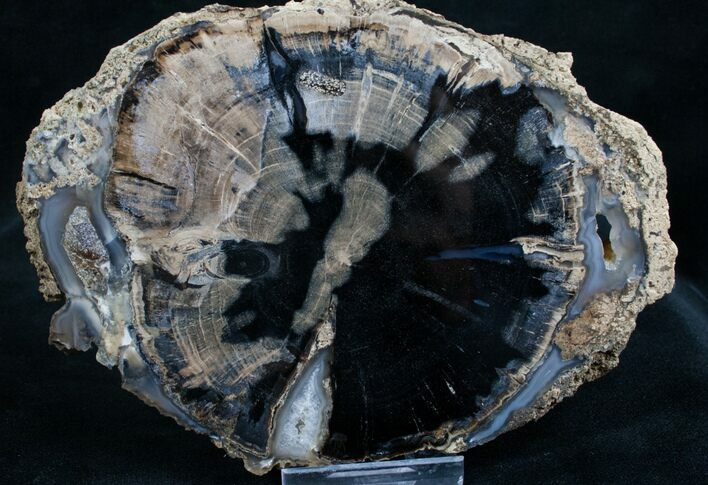 Blue Forest Petrified Wood Slice - 5.6x4""