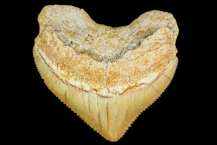 "1.14"" Fossil Crow Shark (Squalicorax) Tooth- Morocco"