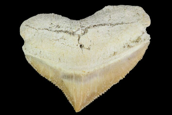 "1.19"" Fossil Crow Shark (Squalicorax) Tooth- Morocco"