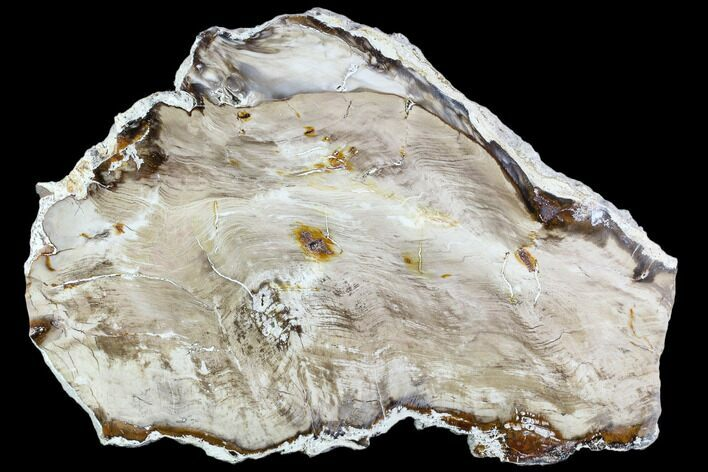 "10.2"" Polished Petrified Wood Slab - Oregon"