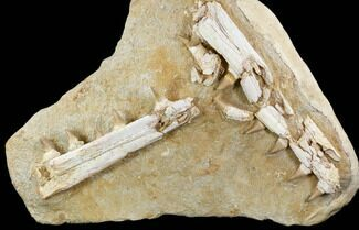 "Buy 19.5"" Mosasaur Jaws (Platecarpus) - Exceptional Preparation - #110020"
