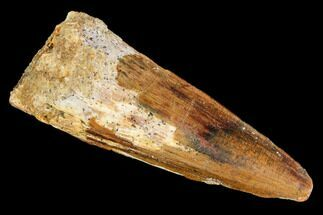 "Buy 1.75"" Spinosaurus Tooth - Real Dinosaur Tooth - #110329"