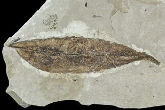 "Buy 3.2"" Fossil Leaf (Cedrelospermum)- Green River Formation, Utah - #110386"