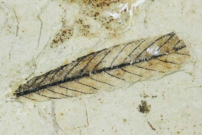 "1.1"" Fossil Willow Leaf - Green River Formation"