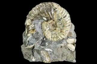 Hoploscaphities nicolletii - Fossils For Sale - #110568